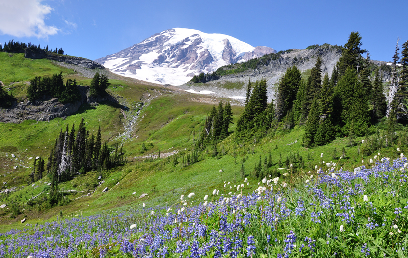 Stunning views of Mount Rainier covered by a fine white snow coat, surrounded by wild flower meadows.