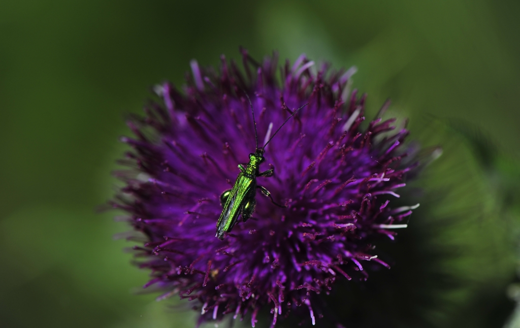 A close-up photo of a metallic green insect resting upon a purple flower